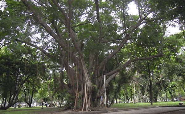 バンコクルンピニー公園の樹木