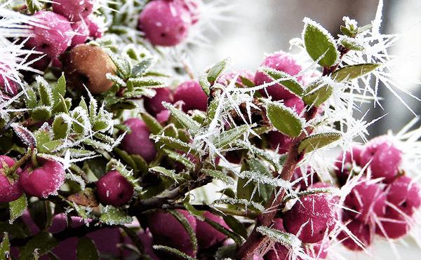 凍った植物