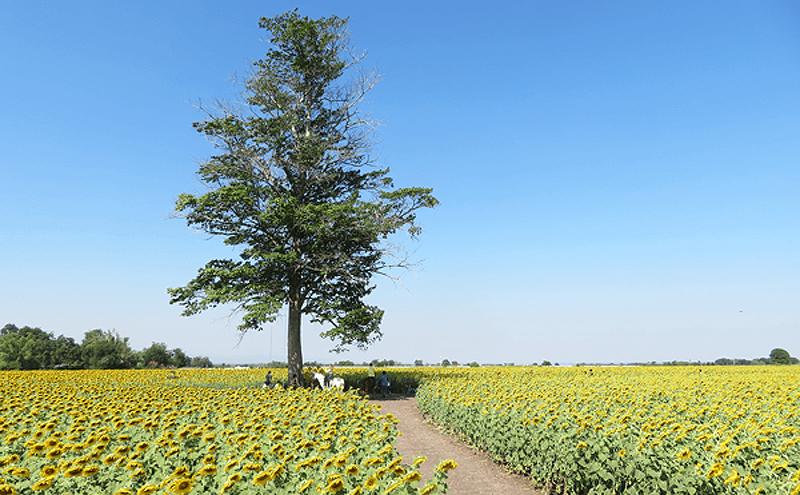 ロップリーひまわり畑